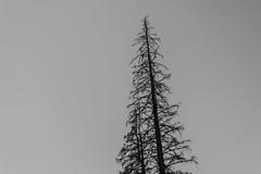Natural minimalism (AlyonaOrlova) Tags: nikon d5300 nature monochrome blackandwhite outdoor sky tree up minimalism