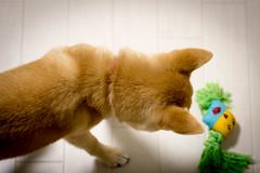 Yotsuba365 Day76 (Tetsuo41) Tags: dog shibainu yotsuba