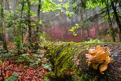 Pleurotus Ostreatus (juan luis olaeta) Tags: photoshop lightroom paisages landscape natura fungi pleurotusostreatus forest basoa bosque hayedo pagoa france fujifilmxpro1 fuji