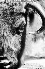 Korkeasaari - Bison 3 (Elena Delahaye) Tags: finland nature helsinki island sea north scandinavia suomi