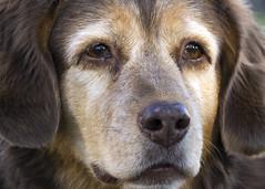 Daphne Sparkle Eyes (Bored Koi) Tags: canon dog novascotiaducktollingretriever novascotia canine