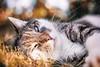 J (In Digo Fotografie) Tags: katze miezekatze meow mauz cat sun sundown sonnenuntergang wiese meadow liegend laying grass gras twinker zwinkern fell blinzeln chill haustier outdoor tier