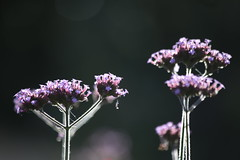 Last of The Summer Shimmer (Henry Hemming) Tags: purple verbena verbenabonariensis flower shimmer summer border garden
