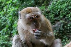 IMG_1186 (oowhatsthatdoo) Tags: kualalumpur kl nature monkey temple steps eating