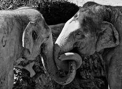 in love... (heiko.moser (+ 9.500.000 views )) Tags: elefant elephant tier tiere animal animale monochrom mono noiretblanc natur nb nero nature natura bw blackwihte blancoynegro canon sw schwarzweiss schwarzweis heikomoser