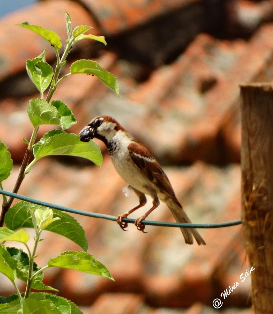 """Águas Frias (Chaves) - ... pássaro com o """"almoço"""" no bico ..."""
