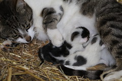 Mothers Pride (excellentzebu1050) Tags: newlife newborn kittens animals animalportraits animal pet indoors cat farm coth5