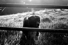 shortcut (Z) Tags: dog dusk chien hund black white border bordercollie field gate old tasha noir noirblanc blanc normandy normandie perro cane pies ci sheepdog