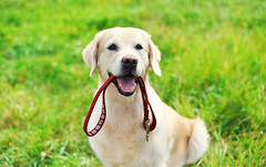 Happy Golden Retriever Dog With Leash Sitting On Grass In Summer (tedphotography1) Tags: active adorable animal attention attractive beautiful breed canine charming cute dog doggy domestic faithful friend friendly golden grass green happy leash lovely nature obedient outdoors park pedigree pet playing pretty retriever sitting spring stroll summer sweet walk white young