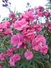 272 (en-ri) Tags: fiorellini pianta cespuglio fiori flowers sony sonysti