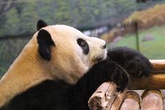 Climbing Panda (praja38) Tags: giantpanda bear wild life wildlife nature thumb female ershun mammal torontozoo zoo toronto ontario canada canadian