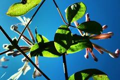 Honeysuckle Shadows (geedub611) Tags: light shadow leaves leaf flower honeysuckle