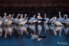 Pelican coming for landing (KeithCrabtree1) Tags: blues americanwhitepelican 2016p1 texas pelecanuserythrorhynchos whites richlandcreeknwr