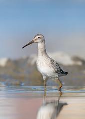 Bécasseau à échasses - Calidris himantopus - Stilt Sandpiper (Anthony Fontaine photographe animalier) Tags: