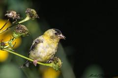 12092016-_PM04612_GF (michel paquin2011) Tags: chardonneret jaune immature parc rapides lasalle