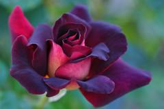 Black gold rose (Meirysett rose) (natureloving) Tags: meirysettrose blackgoldrose flowersinfrance fleursenfrance flowersineurope macro nature natureloving nikon d90 afsvrmicronikkor105mmf28gifed
