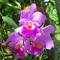 Key West (Florida) Trip 2015 7894Ri sq (edgarandron - Busy!) Tags: florida keys floridakeys keywest keywestgardenclub plants flower flowers orchid orchids