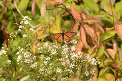 viceroy butterfly resting on late summer asters (GreenRavenPhotography.com) Tags: viceroy butterfly late summer asters scarborough nature animals wildlife ontario