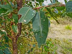 Timeworn (elphweb) Tags: australia falsehdr fhdr gumtree gumleaves oldleaves leaves old tree