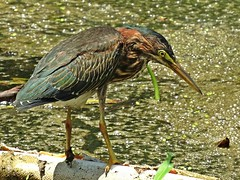 Green Heron (U.S. Fish and Wildlife Service - Midwest Region) Tags: wildlife nature animals summer fall missouri mo neosho nfh hatchery nationalfishhatchery heron greenheron bird birds birding shorebird