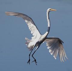 Sep 28 201615769 (Lake Worth) Tags: animal animals bird birdwatcher birds canonef500mmf4lisiiusm canoneos1dxmarkii everglades feathers florida nature outdoor southflorida waterbirds wetlands wildlife wing