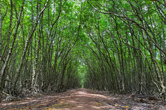 Mangroves path (Thai-Hoa) Tags: canon6d 2470mm forest mangrove path vietnam jungle tropical pathway lost wanderer