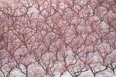 orchard-bonsai-pattern (JeremyOK) Tags: winter bc okanagan orchard summerland orchards