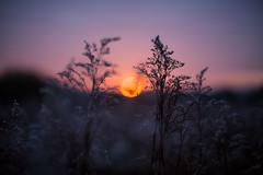 Sunset seedheads