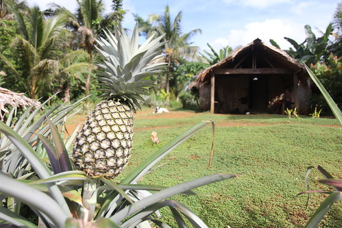 Pineapples almost ready for eating. Malaita, Solomon Islands. Photo by Wade Fairley, 2012.