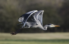 Heron in Flight (Car Crazy Rob) Tags: uk heron nature birds nikon flight sigma milton keynes mk 120400 d7000