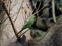 Perruche a collier (alidz31) Tags: paris france nature birdwatcher parcmontsouris