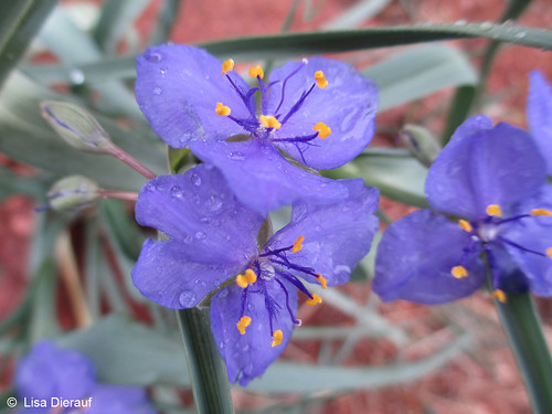 Photo - Blue Spiderwort