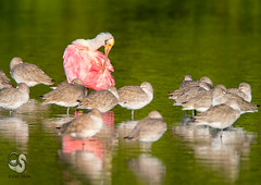 Roseate Spoonbill and Willets-4800-5E.jpg (endlessreach1) Tags: pink florida preening resting behavior spoonbill roseatespoonbill willets canon7d greenbeige mygearandme mygearandmepremium mygearandmebronze mygearandmesilver mygearandmegold endlessreach1 dingdarlingnwrfl carlsshaw carlshawphotography