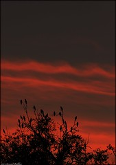 Fiery dusk. (Syed Sarmad Bukhari) Tags: sunset red tree fire dusk vultures peshawar silhoutte