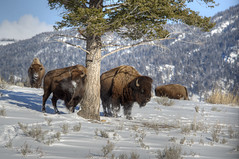 Bison tree hugger (Deby Dixon) Tags: travel nature landscape photography nationalpark wolf wildlife moose fox yellowstonenationalpark wyoming bison wyo bullelk debydixonphotography