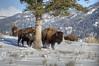 Bison tree hugger (Deby Dixon) Tags: travel nature landscape photography nationalpark wolf wildlife moose fox yellowstonenationalpark wyoming bison wyo bullelk debydixonphotography