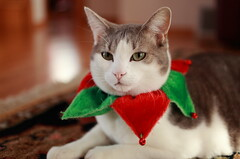 Late for Christmas (kcezary) Tags: christmas portrait canada cat canon chat gato alberta christmasdecorations ritratti ritratto katz    canonprimelens canonef50mmf25compactmacro canon5dmkii