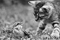 Please Don't Eat Me [b&w] (Norbert Králik) Tags: bw bird cat bokeh canoneos5d canonef70300mmf456isusm pleasedonteatmebw