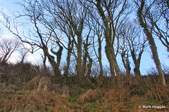 Trees near Larne Promenade (MarkHaggan) Tags: uk trees promenade northernireland ulster countyantrim antrim larne