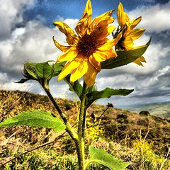 California in winter  #igers #iphone... (Victor Hernandez Photography) Tags: flower jj sunflower iphone joshjohnson vdh iphone4 thisiscalifornia iphonephotography iphoneography igers iphoneonly instagram statigram jjforum instadaily jjchallenge instagramhub instagood uploaded:by=flickstagram jamesfavourites instagram:photo=13110358949595546623031
