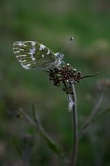 butterfly on a flower (Anna Dymkowska-Kowalska) Tags: flowers white flower green animal canon butterfly insect spring wings meadow poland polska zielony wiosna kwiat motyl łąka onaflower onthemeadow