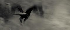 Eagle (Andibart) Tags: tiere botswana vgel 2012 mashatu lnder