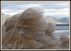 Tourne vers les montagnes / Turned towards the mountains (deplour) Tags: plant plante vent wind tallgrass fouines