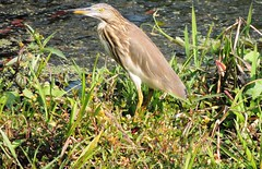 Indian Pond Heron or Paddybird (Ardeola grayii) (nbu2012) Tags: bird heron pond nikon university or indian north bengal sunbird siliguri paddybird ardeola grayii nbu nbu2012 nbu2013