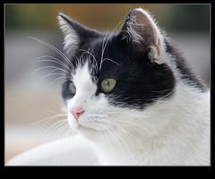 Cibo (kimbenson45) Tags: portrait white black animal cat eyes head ears whiskers