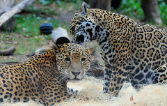 Jaguar Couple (Eve'sNature) Tags: cats nature animals feline wildlife jaguars flickrbigcats