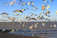 Frock of seagulls (Explore) (Ayano0710) Tags: england sky bird nature landscape countryside kent seaside scenery explore hernebay naturephotography canonef24105f4l kentcoast canoneos7d
