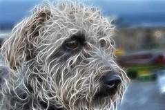 DSC_0095 - George meets Fractalius - Explored (SWJuk) Tags: uk england home dogs closeup photoshop 50mm george nikon lancashire terrier 2012 burnley d90 terriermix nikond90 fractalius myfreecopyright swjuk mygearandme mygearandmepremium ldlportraits dec2012