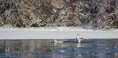 Swans (AnitaBurke1) Tags: winter river idaho swans snakeriver idahofalls