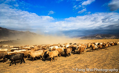 Seasonal Livestock Migration, Xinjiang China (Feng Wei Photography) Tags: china trip travel autumn color fall nature beautiful beauty animal horizontal season spectacular movement sand colorful asia view sheep outdoor traditional seasonal flock dramatic safari vista xinjiang prairie tradition agriculture dust migration sinkiang altay migrate aletai normad fuyun normadic transhumant